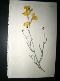 Curtis 1792 Hand Col Botanical Print. Branching Toad-Flax 200